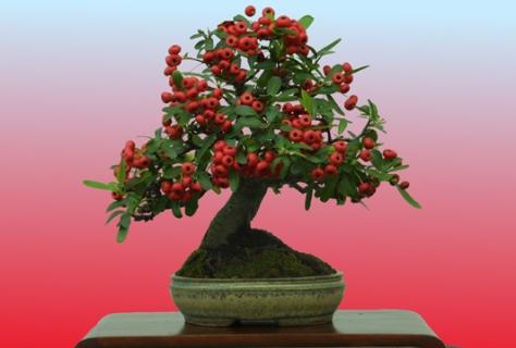 robert_kempinski_shohin_pyracantha_berries