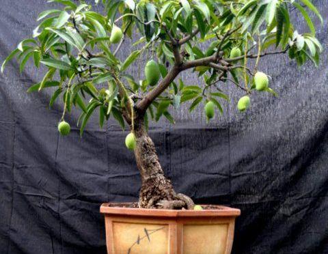 Germinado de semilla de Mango