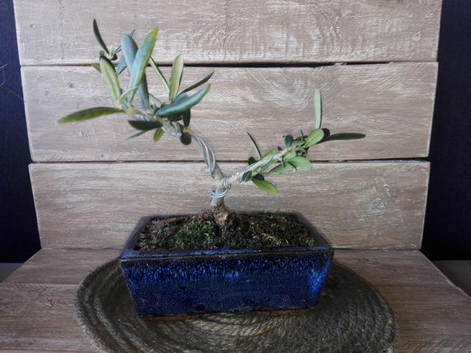Actualización de las estacas de olivo, acebuche y otros árboles