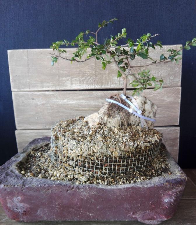 Descubriendo raíces en el olmo de la roca