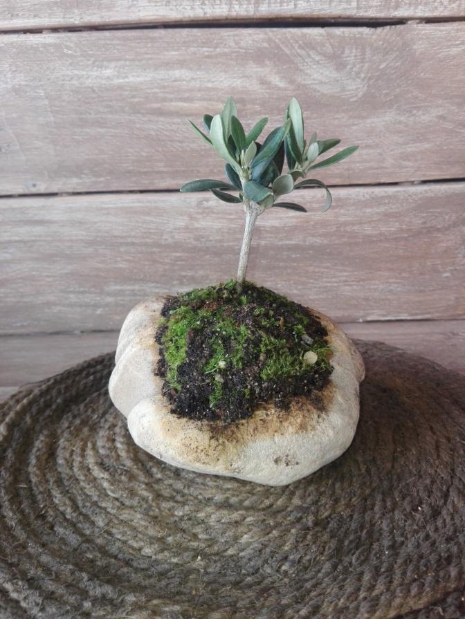 Kurama de olivo