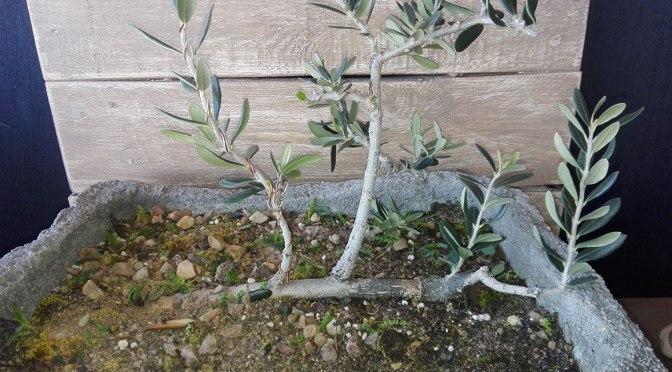 Trasplante de olivo estilo balsa (ikadabuki)